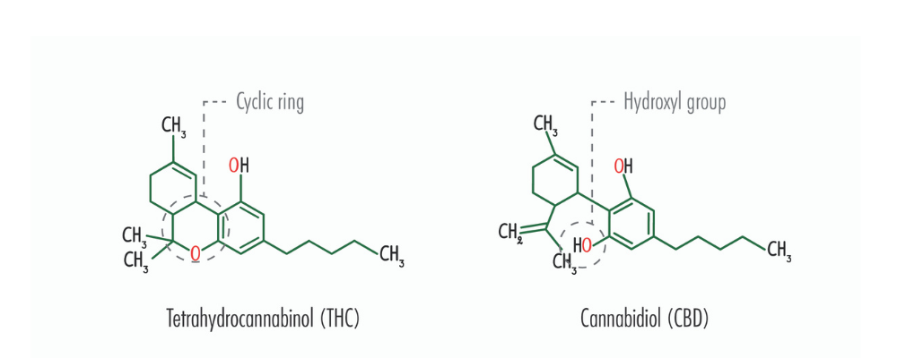 The chemical breakdown of both THC and CBD
